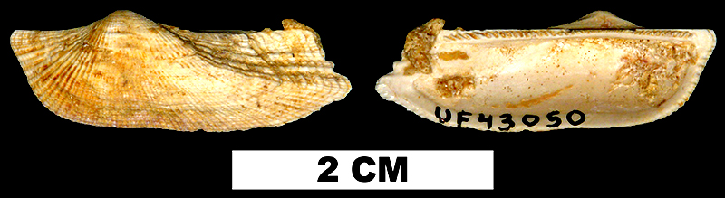 <i>Arca paratina</i> from the Early Miocene Chipola Fm. of Calhoun County, Florida (UF 43050).