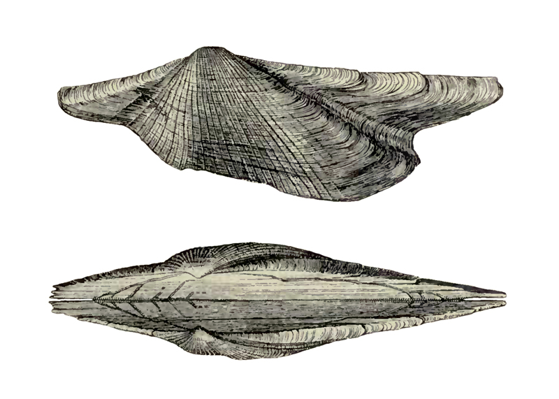 Specimen of <i>Arca wagneriana</i> figured by Dall (1898, pl. 39, fig. 6 and 7); 12.7 mm in length.