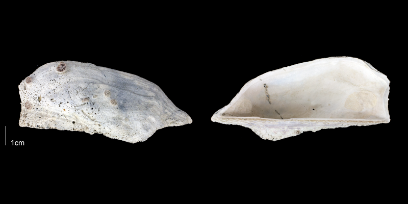 <i>Arca wagneriana</i> from the Late Pliocene Tamiami Fm. (Pinecrest Beds) of Sarasota County, Florida (PRI 70161).