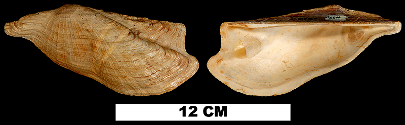 <i>Arca wagneriana</i> from the Late Pliocene (unknown formation) of Glades County, Florida (UF 5544).