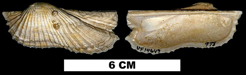 <i>Arca zebra</i> from the Middle Pleistocene Bermont Fm. of Palm Beach County, Florida (UF 14649).