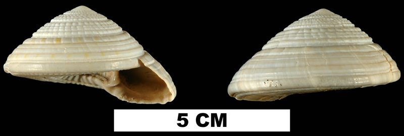 <i>Architectonica nobilis</i> from the Middle Pleistocene Bermont Formation of Miami-Dade County, Florida (UF 53238).