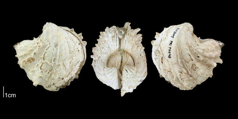 <i>Arcinella cornuta</i> from the Plio-Pleistocene Nashua Fm. of Putnam County, Florida (PRI 70648).