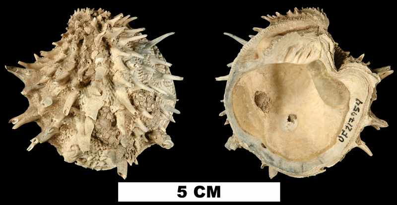 <i>Arcinella cornuta</i> from the Late Pliocene Tamiami Fm. (Pinecrest Beds) of Sarasota County, Florida (UF 217954).