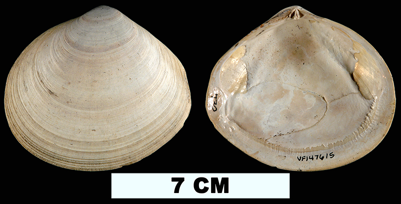 <i>Arcopagia fausta</i> from the Plio-Pleistocene (formation unknown) of Sarasota County, Florida (UF 147615).