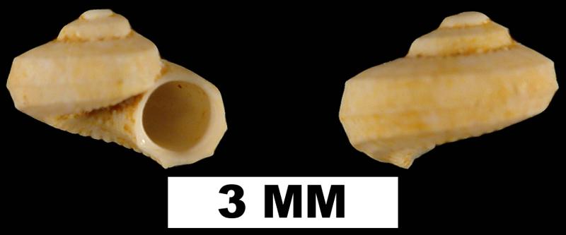<i>Arene agenea</i> from the Early Miocene Chipola Fm. of Calhoun County, Florida (UF 93663).