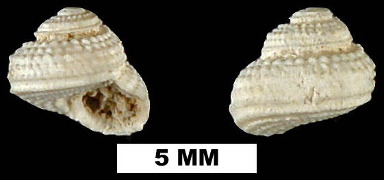 <i>Arene solariella</i> from the Late Oligocene to Early Miocene Arcadia Fm. of Hillsborough County, Florida (UF 189832).