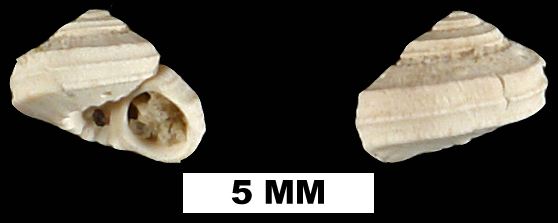 <i>Arene tricarinata</i> from the Early Pleistocene Caloosahatchee Fm. of Okeechobee County, Florida (UF 204816).