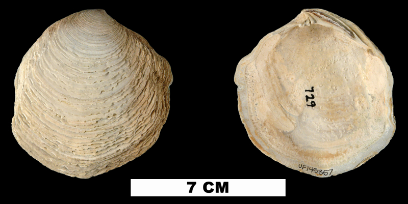 <i>Armimiltha disciformis</i> from the Late Pliocene Tamiami Fm. (Pinecrest Beds) of Sarasota County, Florida (UF 145357).