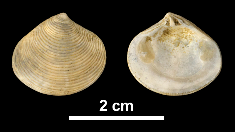 <i>Astarte concentrica</i> from the Early Pleistocene James City Fm. of Beaufort County, North Carolina (PRI 69878).