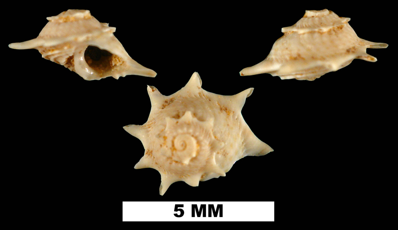 <i>Astralium dalli</i> from the Early Miocene Chipola Fm. of Calhoun County, Florida (UF 94364).