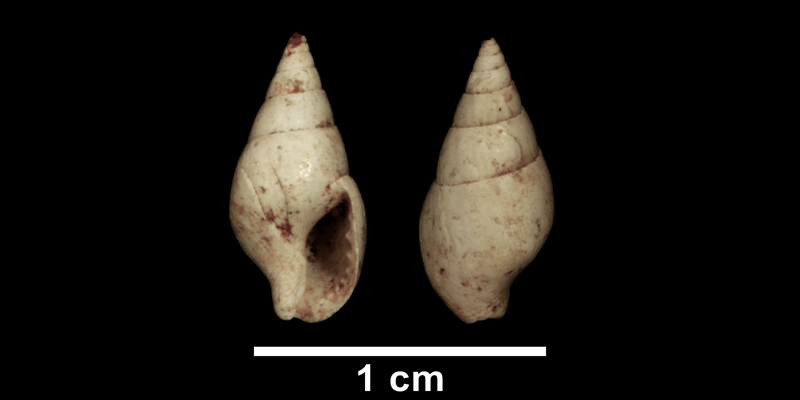 <i>Astyris communis</i> from the Late Pliocene Yorktown Formation of Isle of Wight County, Virginia (SDSM 135261).