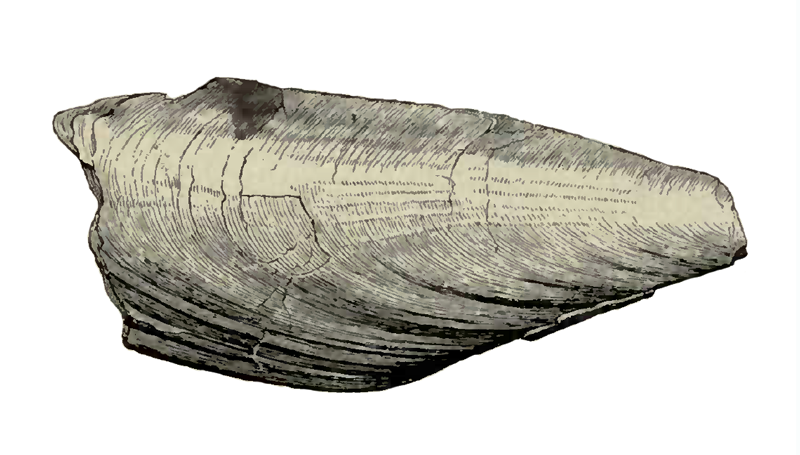 Specimen of <i>Atrina harrisii</i> figured by Dall (1898, pl. 29, fig. 11); 150 mm in length.