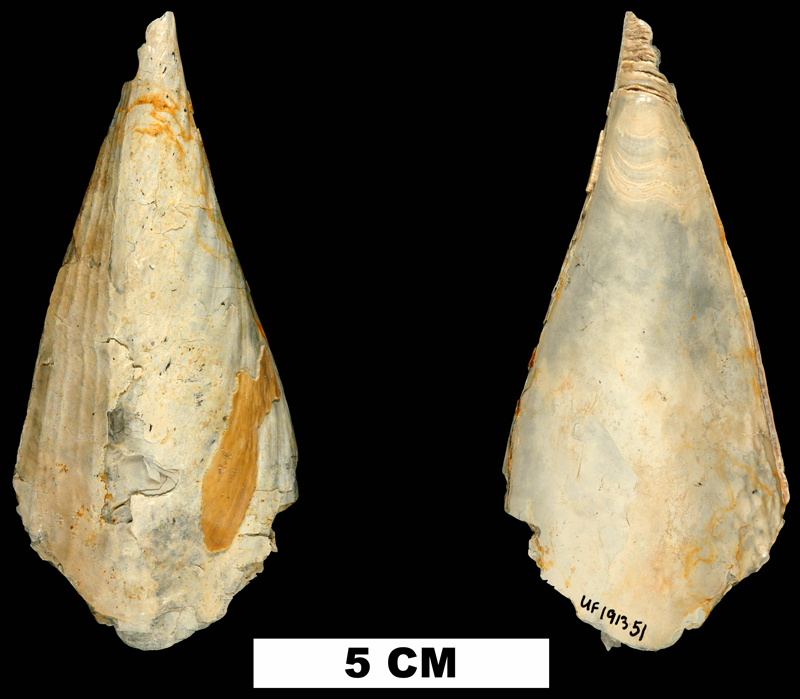 <i>Atrina harrisii</i> from the Late Pliocene Tamiami Fm. (Pinecrest Beds) of Sarasota County, Florida (UF 191351).