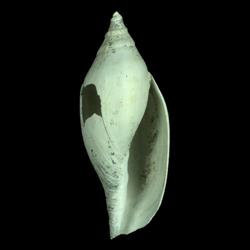 Aurinia obtusa