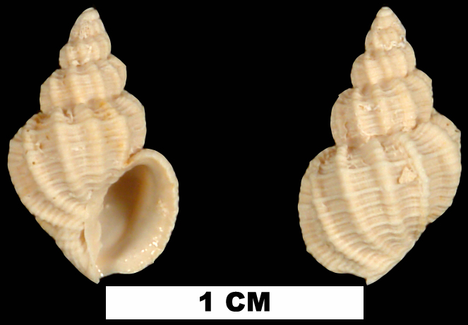 <i>Axelella desmotis</i> from the Early Miocene Chipola Fm. of Calhoun County, Florida (UF 85278).