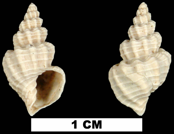 <i>Axelella eponis</i> from the Plio-Pleistocene (formation unknown) of Sarasota County, Florida (UF 228662).