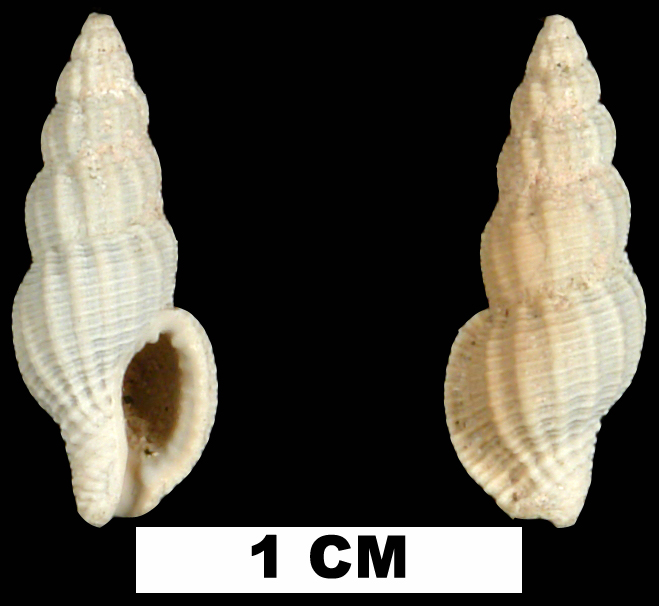 <i>Bailya roycei</i> from the Early Pleistocene Caloosahatchee Fm. of Hendry County, Florida (UF 26008).