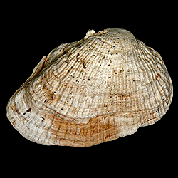 Barbatia caloosahatchiensis