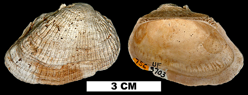 <i>Barbatia caloosahatchiensis</i> from the Plio-Pleistocene (formation unknown) of Sarasota County, Florida (UF 3703).