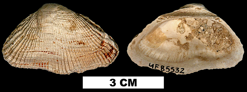 <i>Barbatia irregularis</i> from the Early Pleistocene Caloosahatchee Fm. of Charlotte County, Florida (UF 85532).