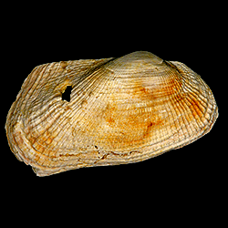 Barbatia phalacra