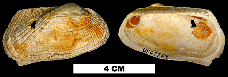 <i>Barbatia phalacra</i> from the Early Miocene Chipola Fm. of Calhoun County, Florida (UF 67724).