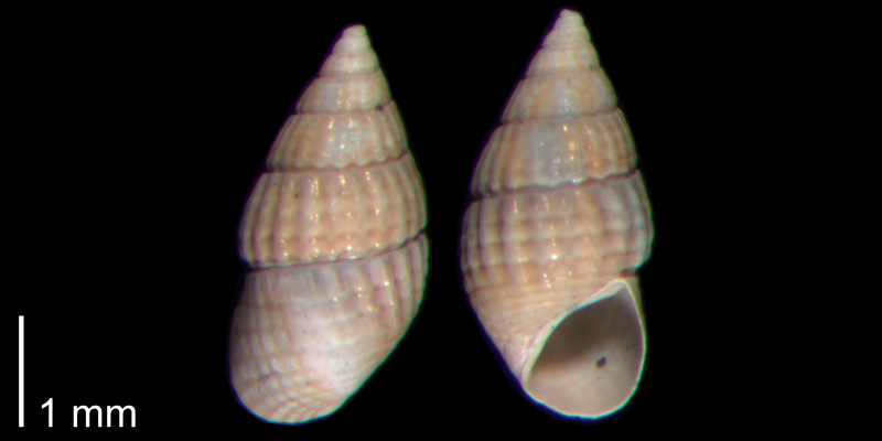 <i>Bittiolum podagrinum</i> from the Early Pleistocene James City Fm. of Beaufort County, North Carolina (PRI 70484-2).