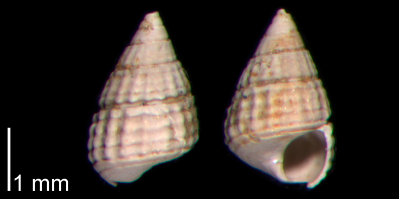 <i>Bittiolum podagrinum</i> from the Early Pleistocene James City Fm. of Beaufort County, North Carolina (PRI 70479).