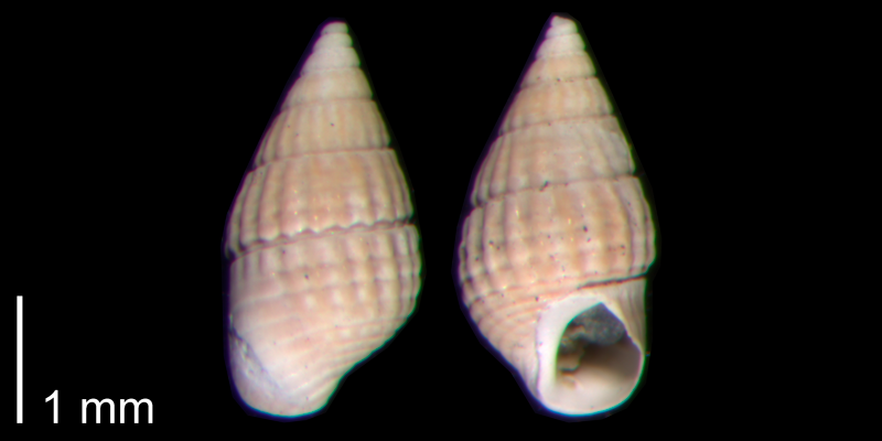 <i>Bittiolum podagrinum</i> from the Early Pleistocene James City Fm. of Beaufort County, North Carolina (PRI 70484-1).