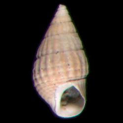 Bittiolum podagrinum
