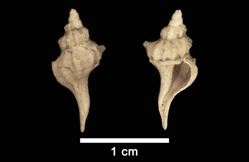 <i>Boreotrophon tetricus</i> from the Late Pliocene Yorktown Formation of Isle of Wight County, Virginia (SDMS 112665).