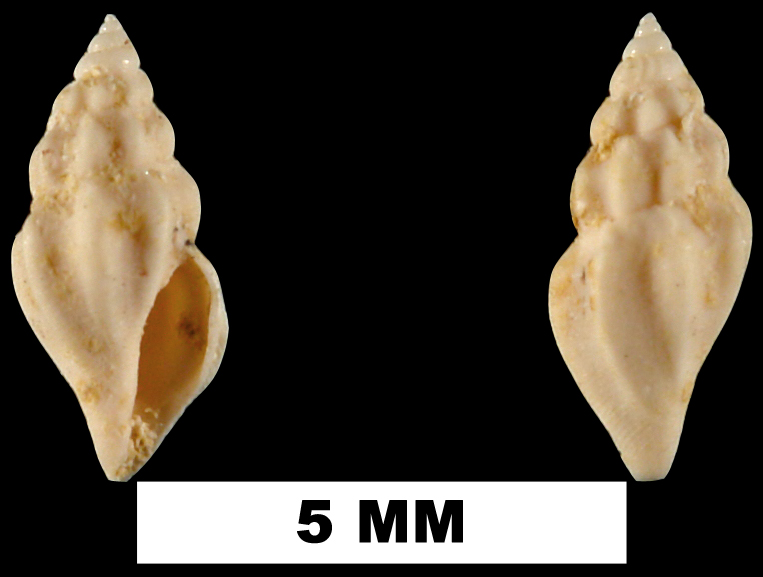 <i>Brachycythara dasa</i> from the Early Miocene Chipola Fm. of Calhoun County, Florida (UF 74356).