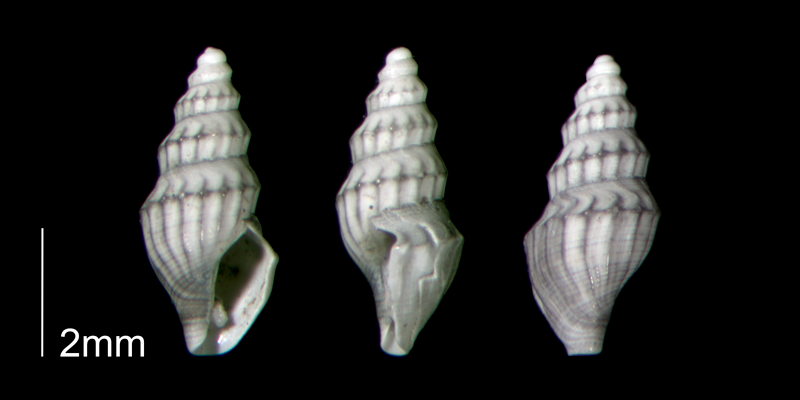 <i>Brachycythara reidenbachi</i> from the Early Pleistocene Waccamaw Fm. of Brunswick County, North Carolina (PRI 70460-2).