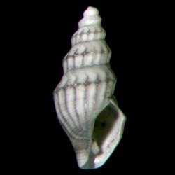 Brachycythara reidenbachi
