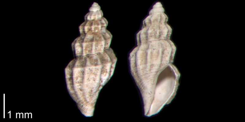 <i>Brachycythara reidenbachi</i> from the Early Pleistocene James City Fm. of Beaufort County, North Carolina (PRI 70498).