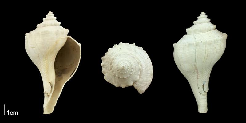 <i>Brachysycon</i> cf. <i>amoenum</i> from the Plio-Pleistocene Nashua Fm. of Putnam County, Florida (PRI 70663).