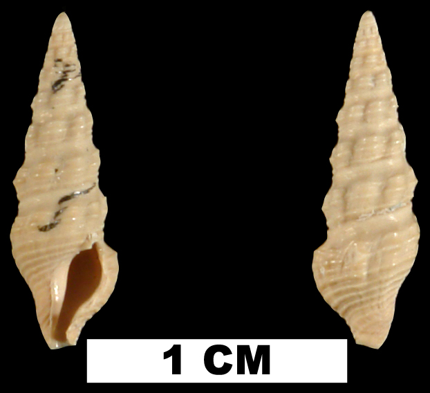 <i>Buchema pylonia</i> from the Plio-Pleistocene (formation unknown) of Sarasota County, Florida (UF 22214).