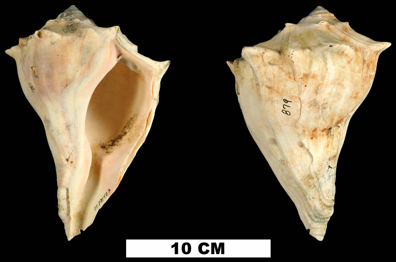 <i>Busycon carica</i> from the Pleistocene (formation unknown) of Charleston County, South Carolina (UF 191423).