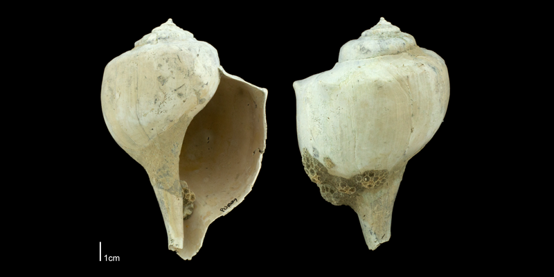 <i>Busycon</i> cf. <i>rapum</i> from the Plio-Pleistocene Nashua Formation of Putnam County, Florida (PRI 70668).