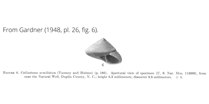 <i>Calliostoma armillatum</i> from Gardner (1948), pl. 26, fig. 6. USNM 113060. Near Natural Well, Duplin County, North Carolina.