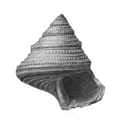 Calliostoma basicum