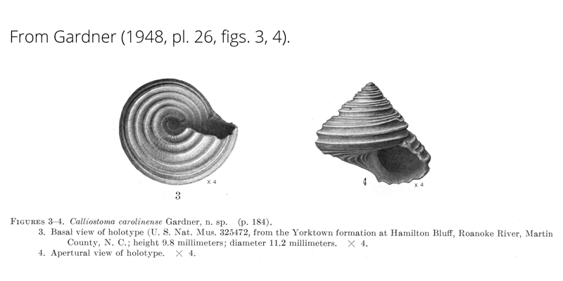 <i>Calliostoma carolinense</i> from Gardner (1948), pl. 26, figs. 3, 4. Holotype USNM 325472. Yorktown Formation, Hamilton Bluff, Martin County, North Carolina.