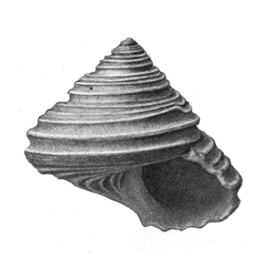 Calliostoma carolinense