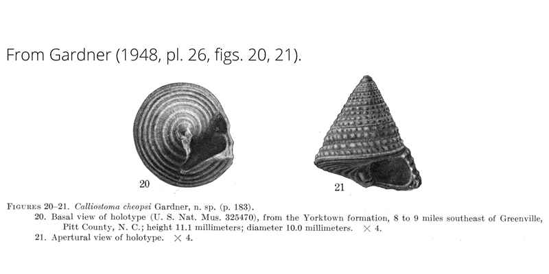 <i>Calliostoma cheopsi</i> from Gardner (1948), pl. 26, figs. 20, 21. Holotype, USNM 325470. Yorktown Formation, Pitt County, North Carolina.