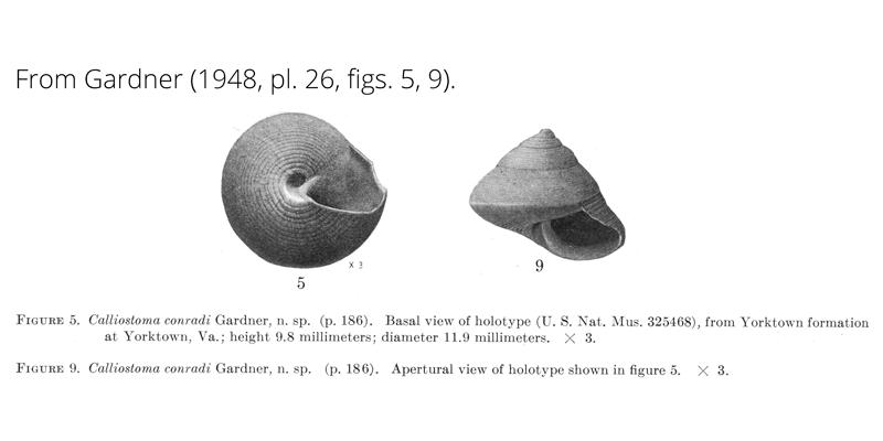 <i>Calliostoma conradi</i> from Gardner (1948), pl. 26, figs. 5, 9. Holotype USNM 325468. Yorktown Formation, Yorktown, Virginia.