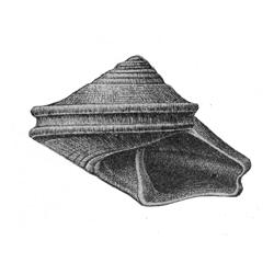Calliostoma cyclum