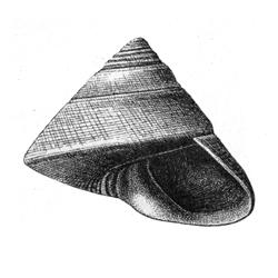Calliostoma harrisii
