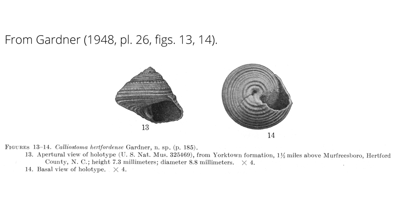 <i>Calliostoma hertfordense</i> from Gardner (1948), pl. 26, figs. 13, 14. Holotype USNM 325469. Yorktown Formation, Hertford County, Virginia.