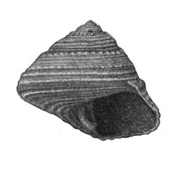 Calliostoma hertfordense